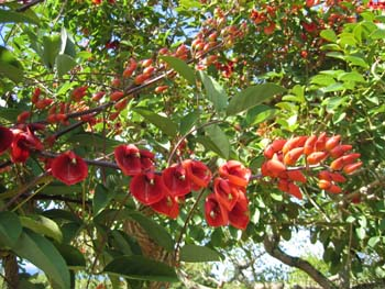 Erythrina X malottorum   - branch with flowers