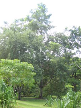 Sterculia foetida   - full view of tree