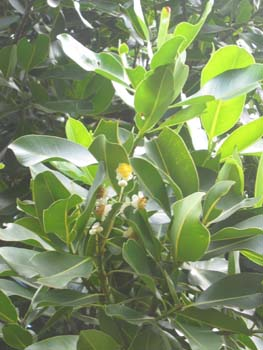 Calophyllum inophyllum   - 