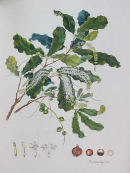 Macadamia integrifolia   - Watercolor