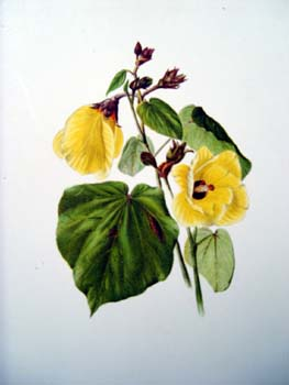 Hibiscus tiliaceus   - Sinclair, FI.   Indigenous Flowers of the Hawaiian Islands.   Marston, Searle and Rivington.  London.  1885.