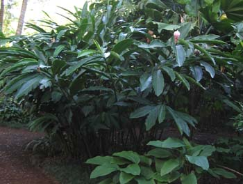 Alpinia purpurata  'Jungle Queen' -