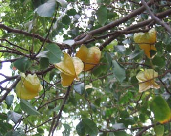 Averrhoa carambola   - Fruiting branch seen from below