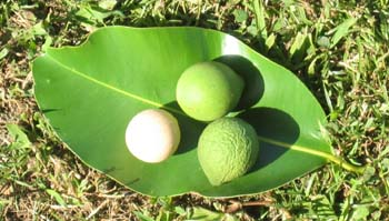 Calophyllum inophyllum   - fruit on leaf