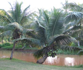 Cocos nucifera   - Dwarf coconut, full view
