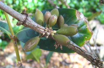 Coffea mauritiana   - Fruiting branch, immature fruits