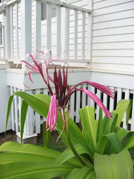 Crinum augustum   - Queen Emma lily in front of her house
