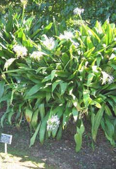 Crinum pedunculatum   - Habit, form with white flowers