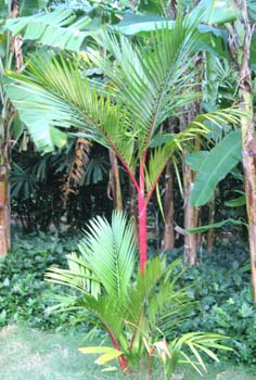 Cyrtostachys renda   - Sealing wax palm, young tree