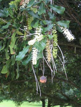 Macadamia integrifolia   - Flowers and fruit