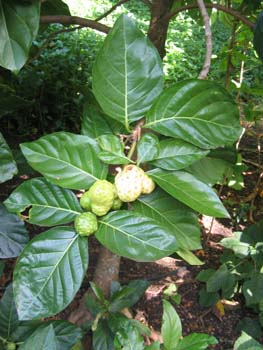 Morinda citrifolia   - 