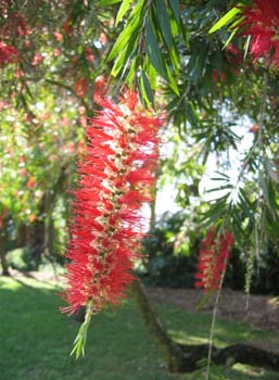 Callistemon viminalis   - 