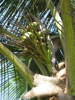 Cocos nucifera   - 