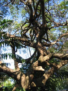 Delonix regia   - Trunk and main branches