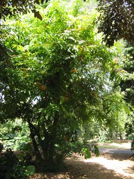 Saraca indica   - 