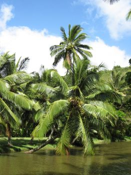 Cocos nucifera   - Cocos nucifera over Lawai Kai stream (2)