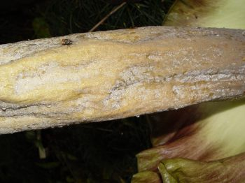Amorphophallus lambii   - Middle of spathe with fly