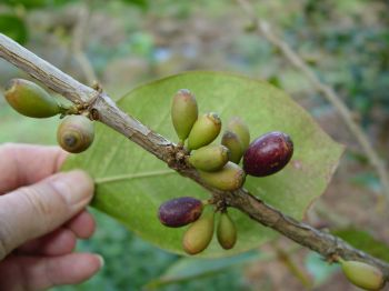Coffea mauritiana   - Green and ripe fruits