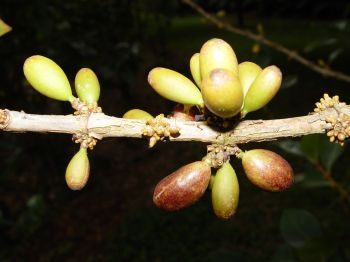 Coffea mauritiana   - Freen and ripe fruits