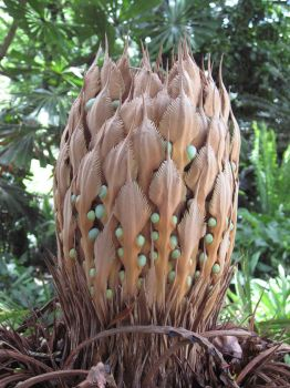 Cycas media   - Female cone