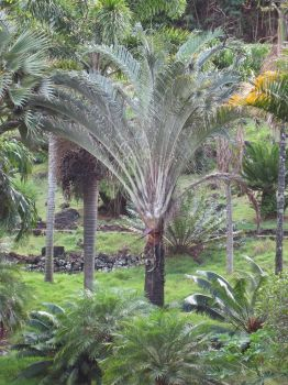 Dypsis decaryi   - 