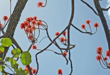 Erythrina abyssinica   - 