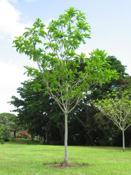 Genipa americana   - Tree with new leaves