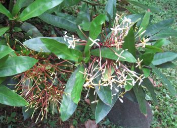 Ixora hookeri   - Flowering branch