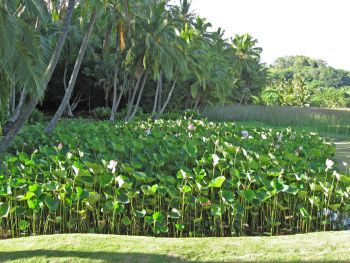 Nelumbo nucifera   - Lotus pond at Lawai-kai