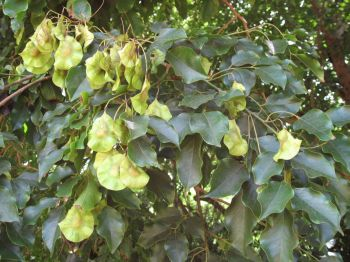 Pterocarpus indicus   - Fruiting branch
