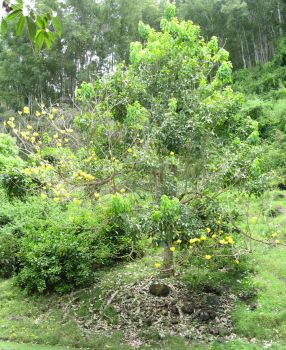 Tabebuia serratifolia   - Habit with flowers