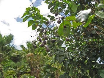 Sapindus oahuensis   - Fruiting branch