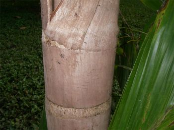 Bactris gasipaes   - Trunk of spineless cultivar used for palm heart production