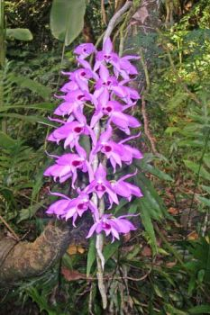 Dendrobium anosmum   - Flowering Stem