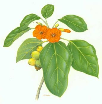 Cordia subcordata   - color pencil drawing of kou by Mel Gabel
