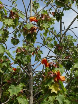 Kokia kauaiensis   - Flowering branch