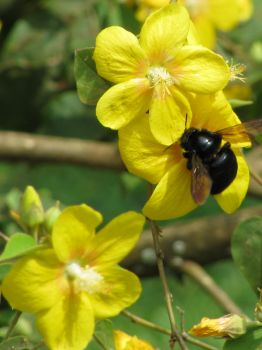 Bakeridesia integerrima   - Flowers with carpenter bee