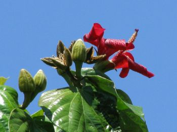 Hibiscus elatus   - Flowers, buds and fruits