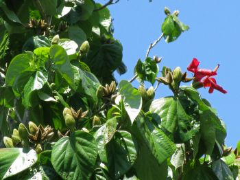 Hibiscus elatus   - Leaves, flowers and buds with green and split capsules