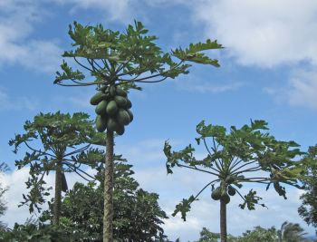 Carica papaya   - Plants with fruit