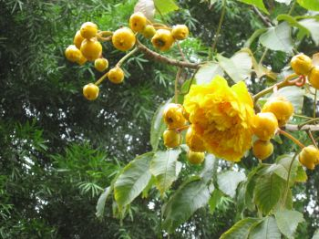 Cochlospermum vitifolium   - Leaves, buds and open flower