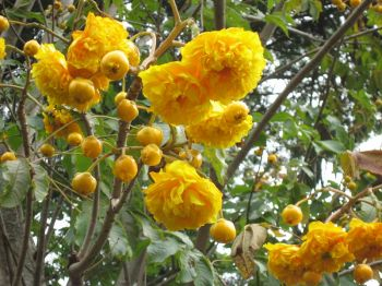 Cochlospermum vitifolium   - Tree in full flower