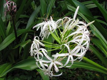 Crinum pedunculatum   - Inflorescence, white flower form