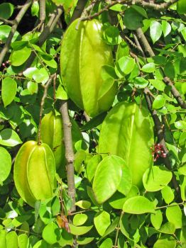 Averrhoa carambola   - Branch with ripening fruit