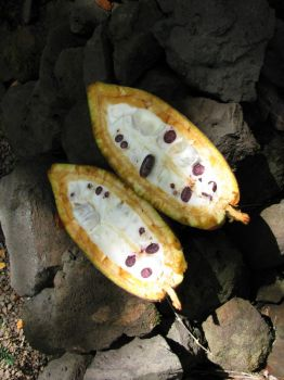 Theobroma cacao   - Fruit cut lengthwise to show white pulp and purple seeds
