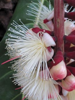 Barringtonia procera   - Open flowers and buds