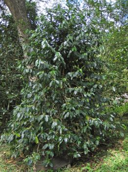 Coffea arabica   - Habit