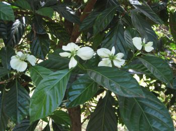 Morinda latibracteata   - Leaves and flowers