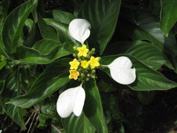 Mussaenda raiateensis   - Leaves, flowers and sepals
