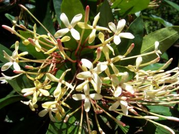 Ixora hookeri   - Inflorescence detail